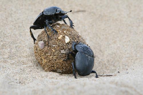 Parasitic behaviour in dung beetles