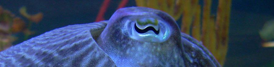 Cuttlefish head