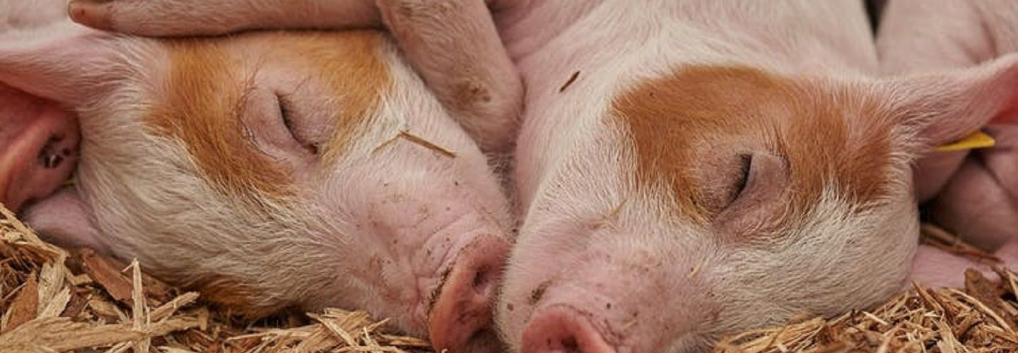 Two pigs facing each other in hay