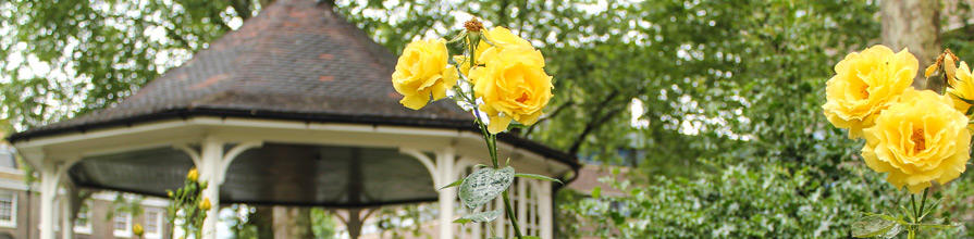 Yellow Roses in Northampton Square