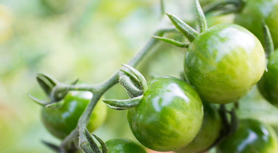 A tomato plant with green tomatoes