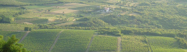 Istria vineyard banner